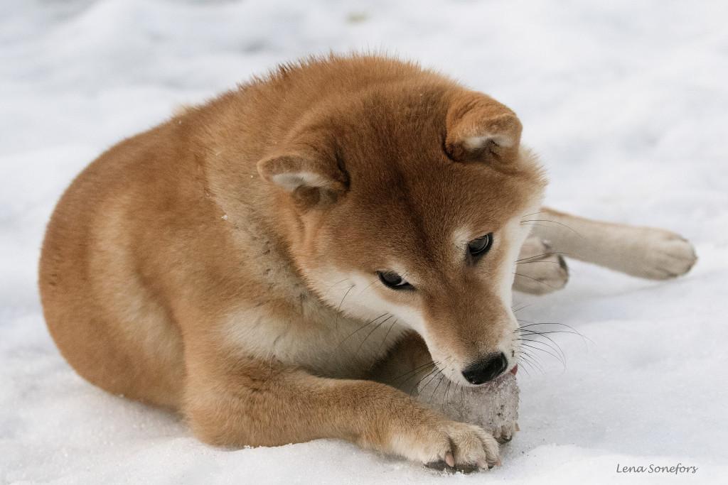Lara äter snö