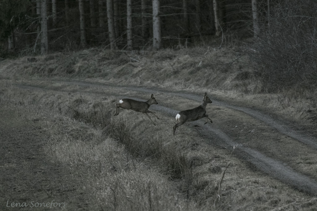 Rådjur på flykt