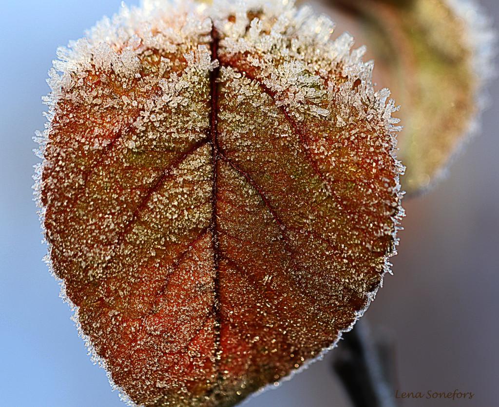 frostlov